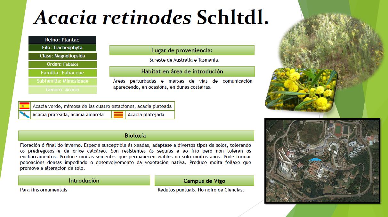 Acacia retinodes oma for Piscina uvigo